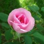 Fror pra Rosa de Jesuis.
