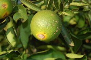 Cancro - fruto