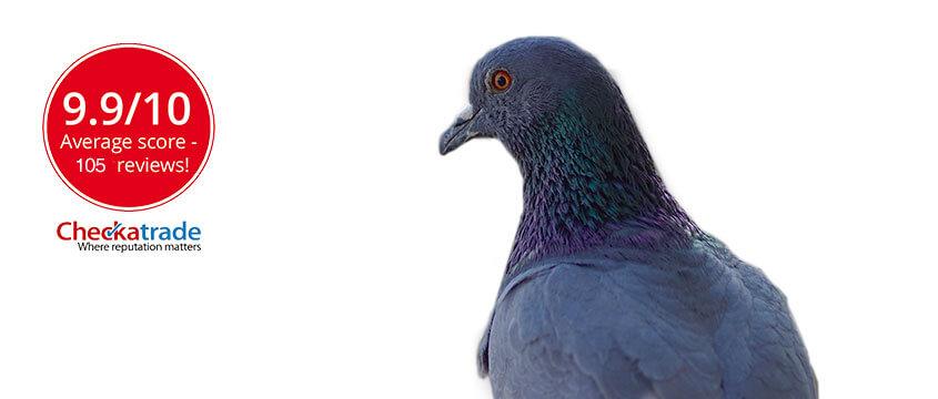 Pigeon hero image
