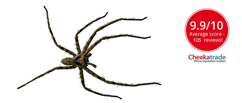 Non native spider removal