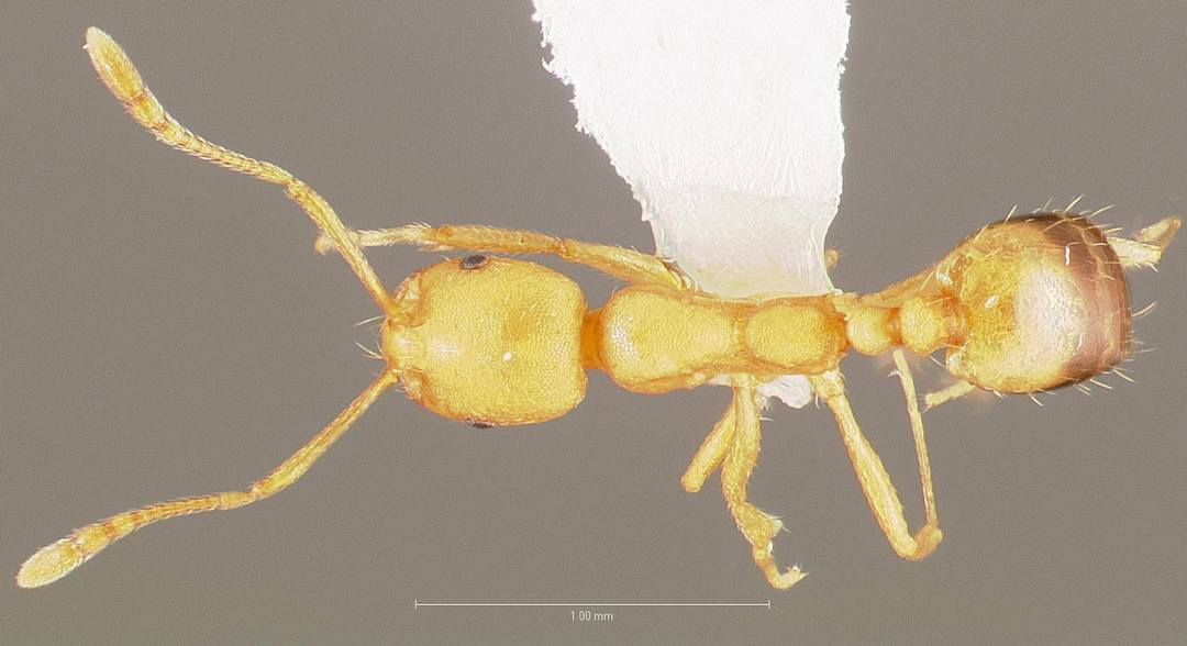 pharoh ant