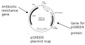 Activity 4: Transformation of E. coli using green