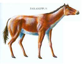 Parahippus
