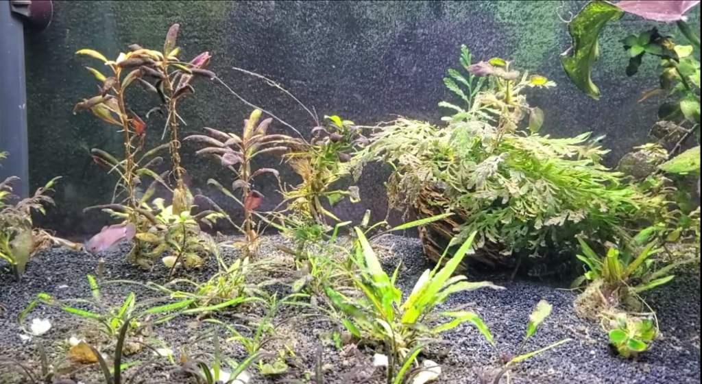 enfermedades plantas acuario