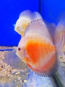 discus-red-white