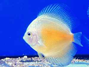 discus-yellow-white