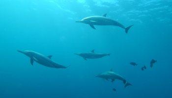 Dauphins dans l'océan