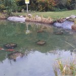 Commercial Koi pond improved
