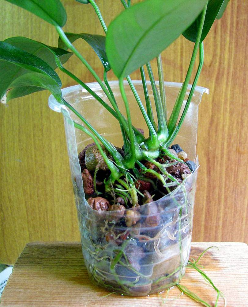 With the growth of the rhizome Anubias itself comes from the ground