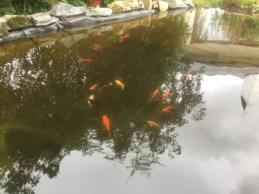 poissons étang
