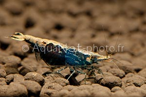 Neocaridina davidi blue