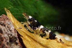 Paracaridina sp Princess Bee