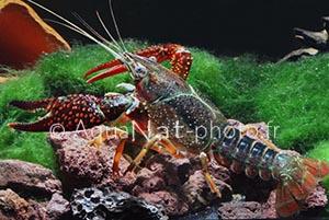 Procambarus clarkii rouge-2