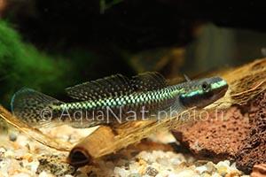 Stiphodon atropurpureus