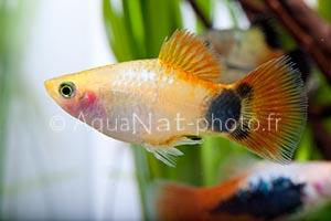 Xiphophorus maculatus Mickey Gold