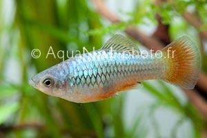 Xiphophorus variatus Bleu