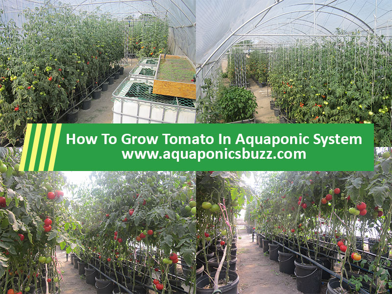 how to grow tomato in aquaponic system