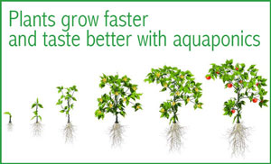 plants grow faster and taste better in aquaponics