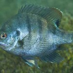 Bluegill Fish Aquaponics