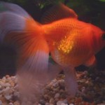 Fancy Goldfish Fantail Aquaponics