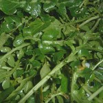 watercress plant for aquaponics