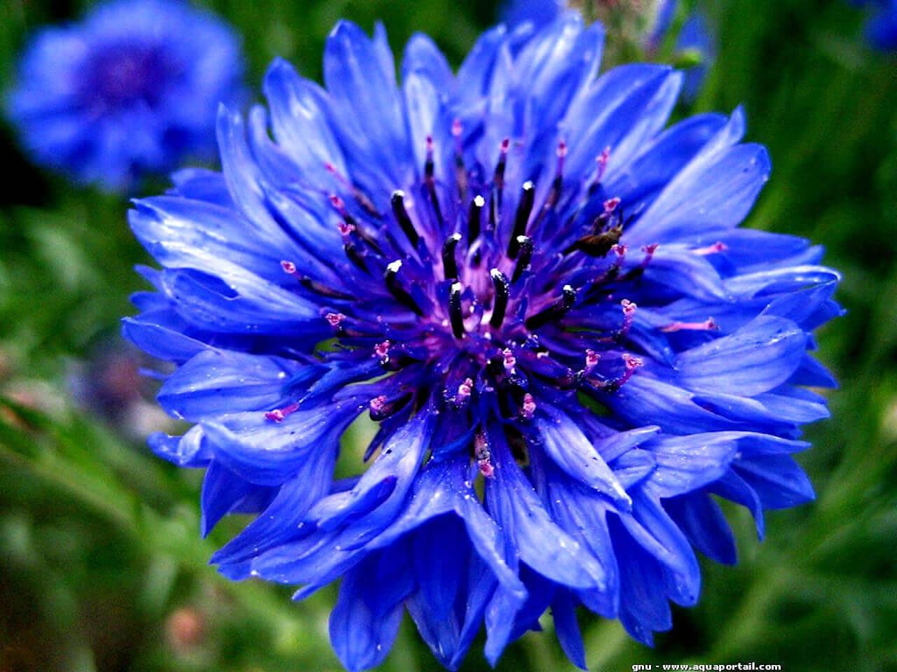 https://i1.wp.com/www.aquaportail.com/pictures1106/anemone-clown_1307889811-fleur.jpg