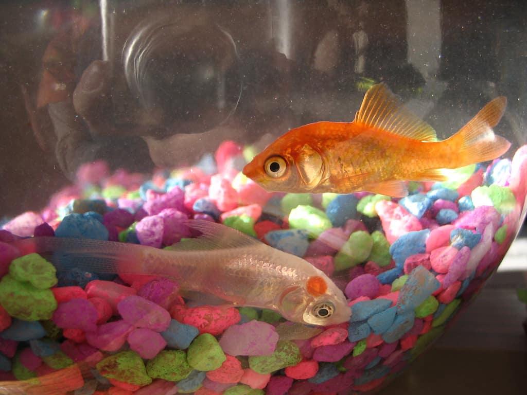 Used aquarium fish tank for sale - Goldfish Bowl Bad