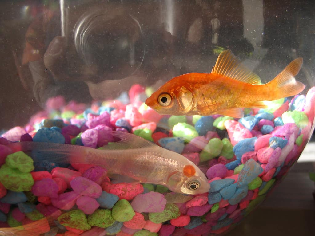 Why goldfish bowls should be banned aquariadise for What fish can live with goldfish