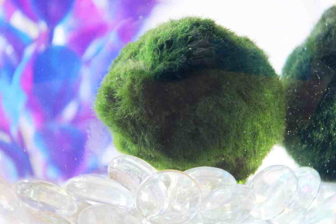 how to clean marimo moss ball