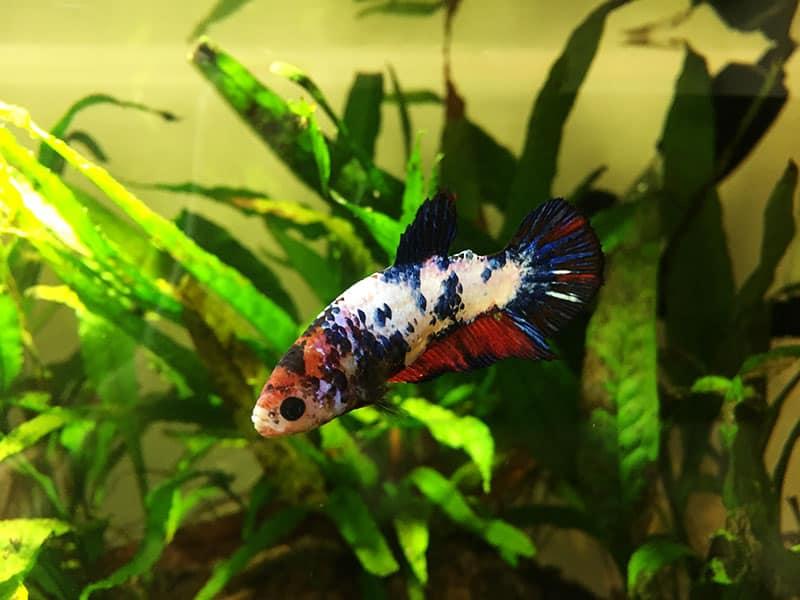 Betta than a bowl betta fish aquariums betta tank for Betta fish size