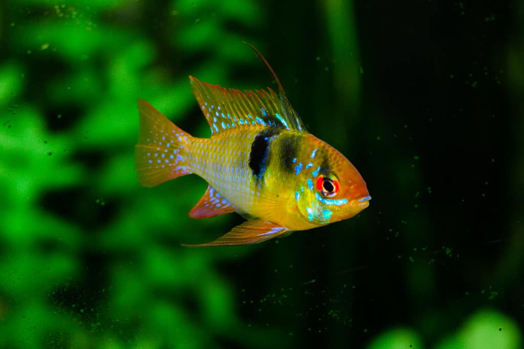 7 colorful aquarium fish aquariadise for Colorful freshwater aquarium fish