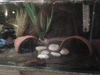Ancistrus breeding tank