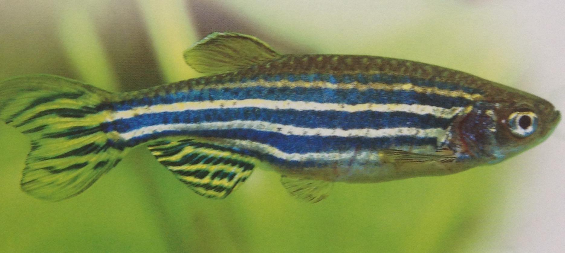 Image result for peixe paulistinha