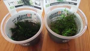 In vitro Aquarienpflanzen