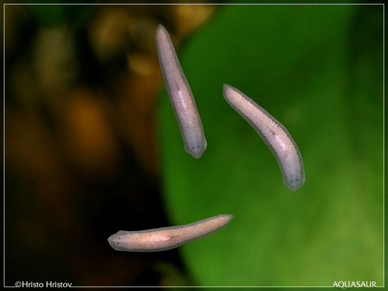 Planaria a pest in aquarium or not computing mind for Where can i buy worms for fishing near me