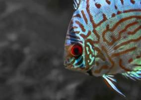 Pez disco Disco azul aequifaciatus haraldi. El pez disco azul o el Symphysodon aequifasciatus tienen colores azules.