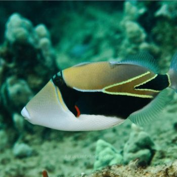 Humu Rectangle Triggerfish