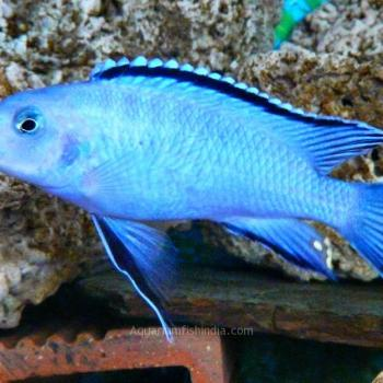 Powder Blue Cichlid