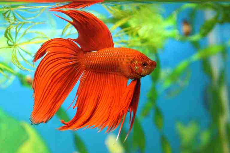 Using the best betta tank is important for your Betta's health