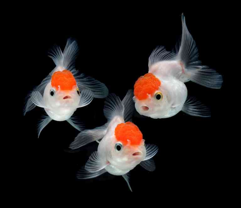Goldfish on painted black background with aquarium safe paint
