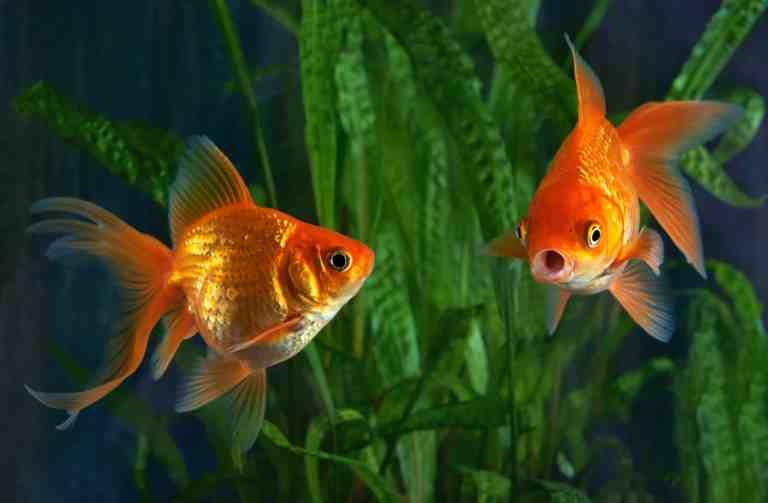 Goldfish in blue painted aquarium, with aquarium safe paint