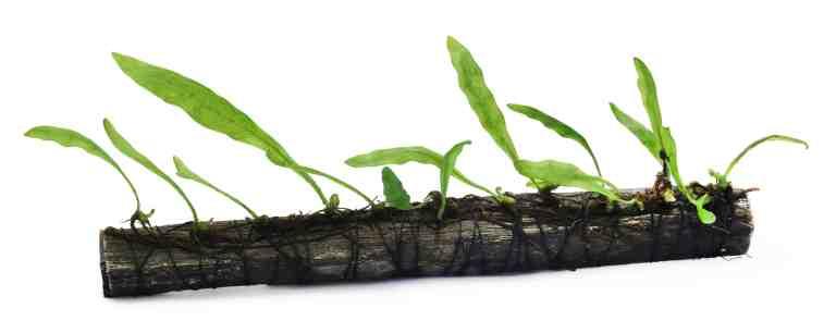 Java Fern growing on bogwood