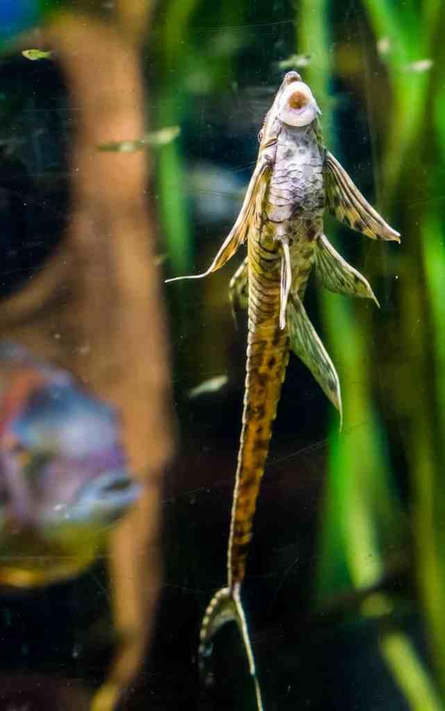 Twig Catfish eating algae