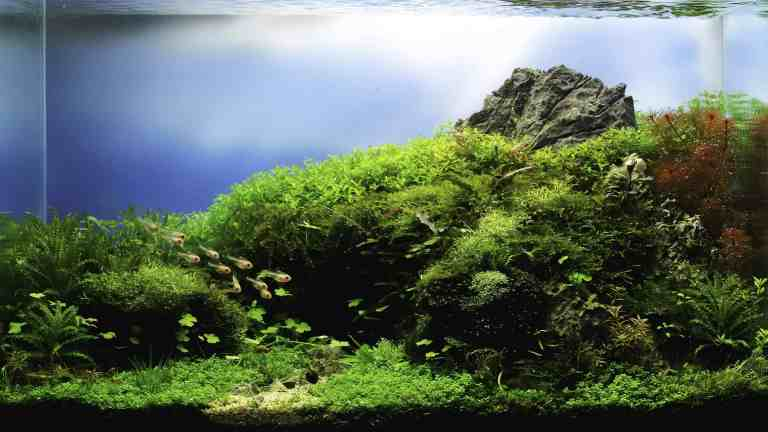 Java moss in a planted tank