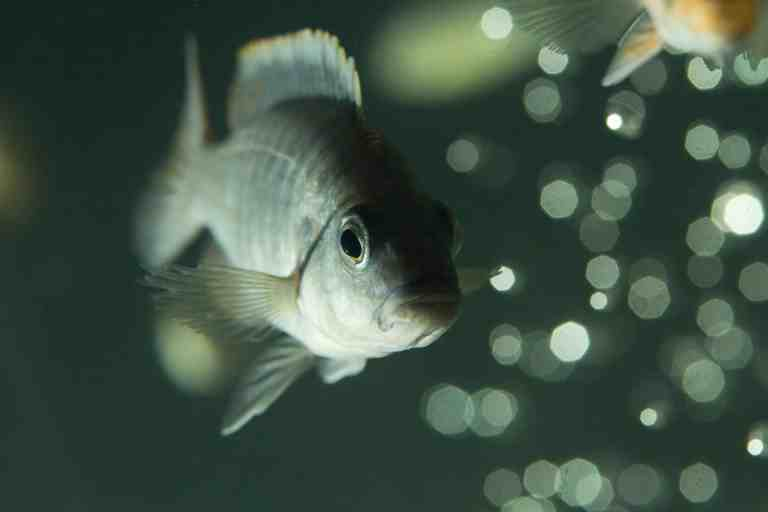 Quarantined fish for ich treatment
