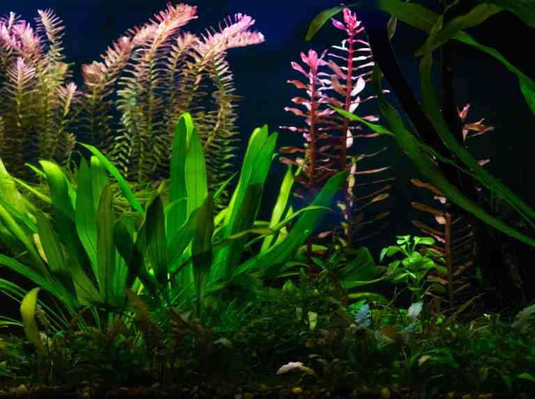 Amazon sword in a fish tank