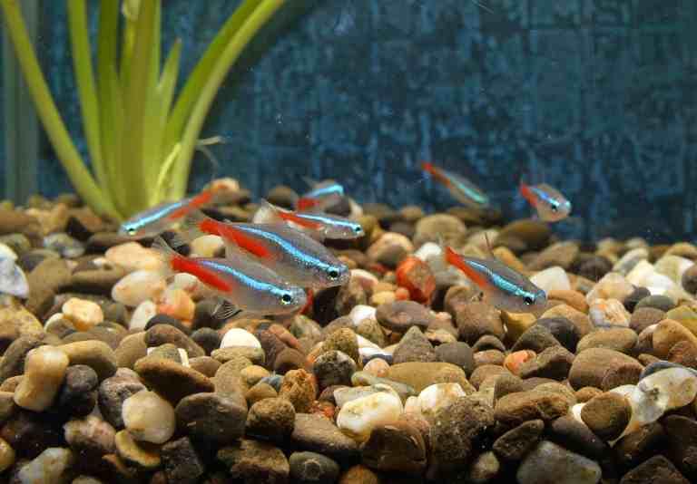 School of neon tetras in aquarium