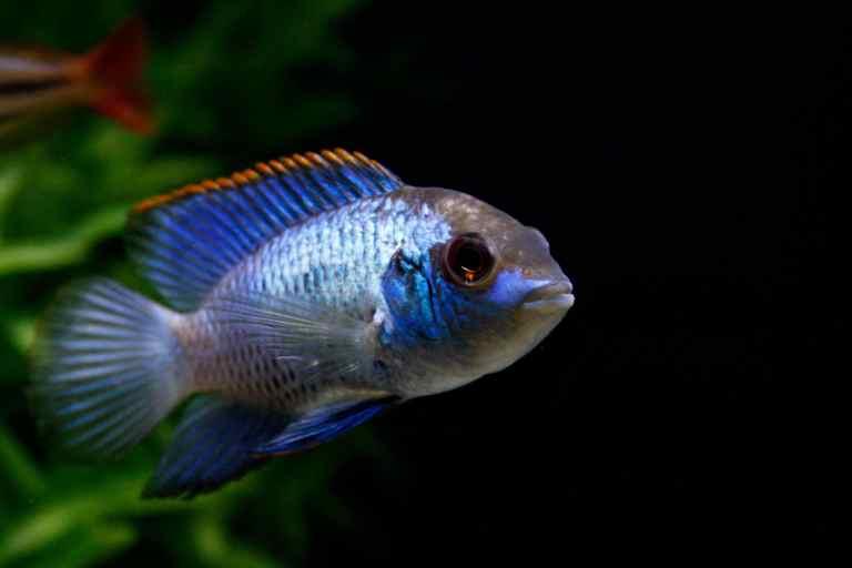 Electric blue acara swimming in tank