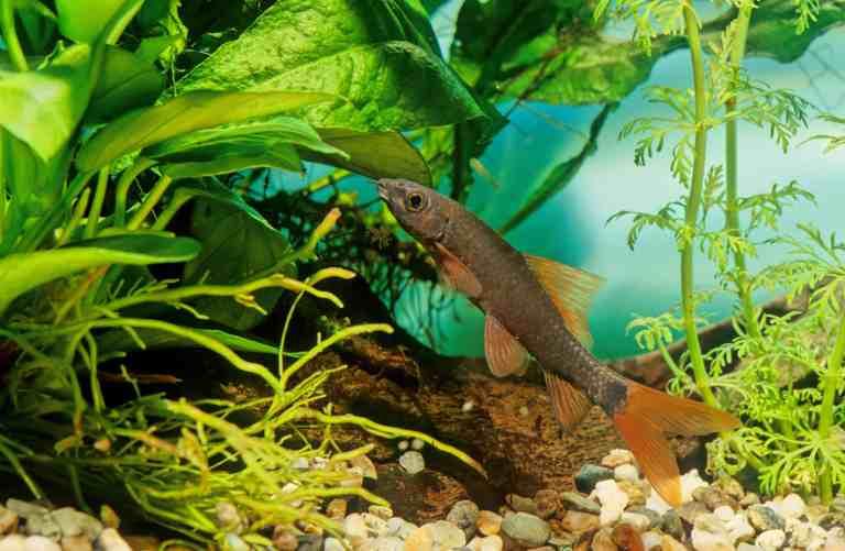 Rainbow shark swimming in planted tank