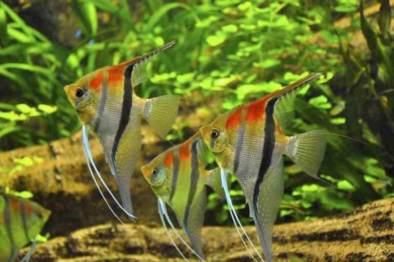 Angelfish swimming in self-cleaning fish tank